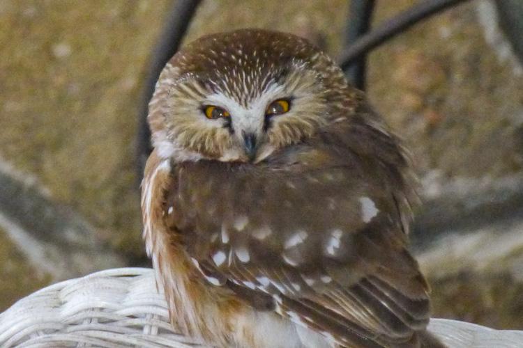 Northern Saw-whet Owl © Diane Koske