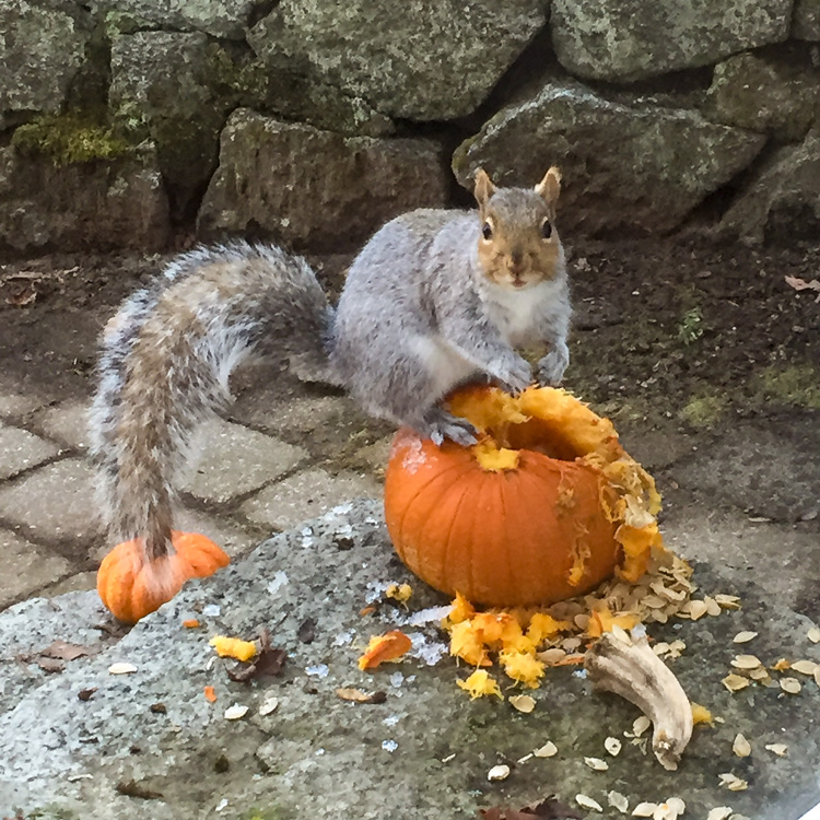 Squirrel munching on a pumpkin in Gloucester, MA © Suzanne Sweeney