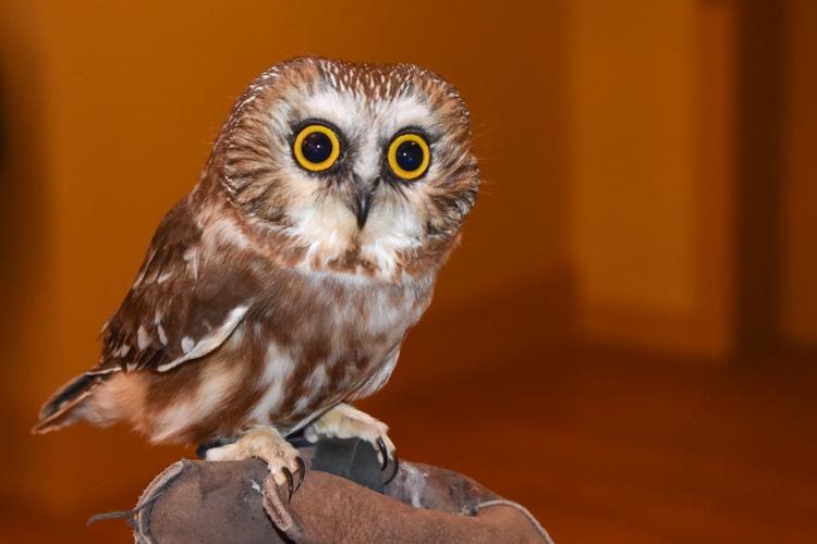Northern Saw-whet Owl © Janice Berte
