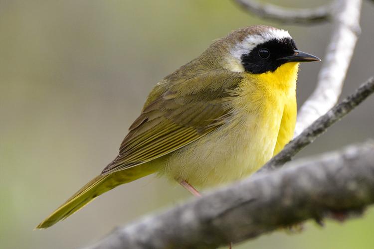 Common Yellowthroat © Jeff Martineau