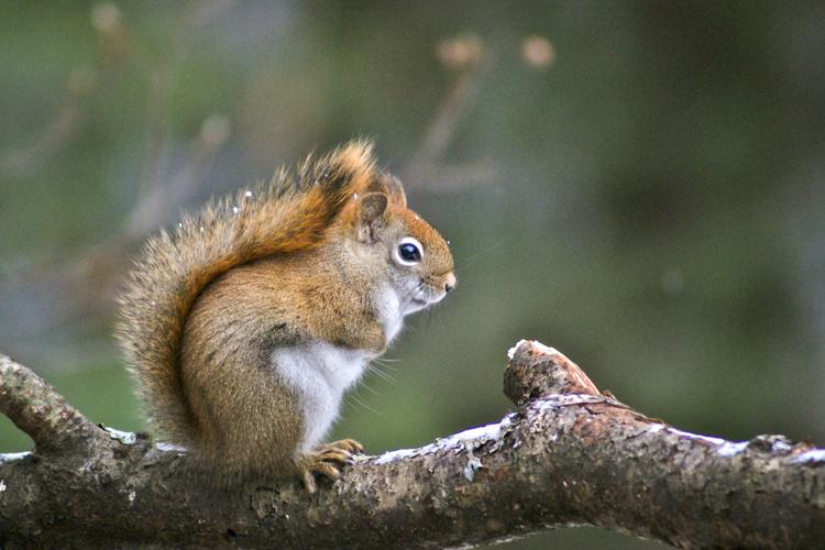 American Red Squirrel © Sue Feldberg