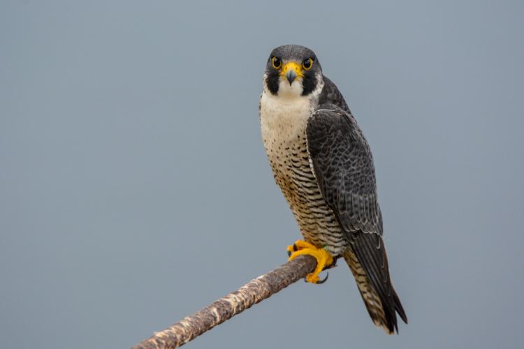 Peregrine Falcon © Martha Akey