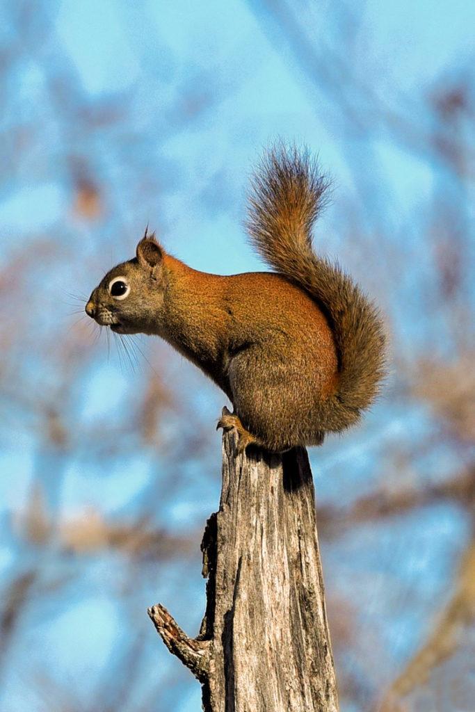 American Red Squirrel © Martha Akey