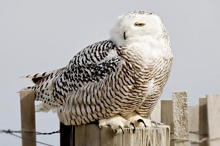Snowy Owl © Karen Walker