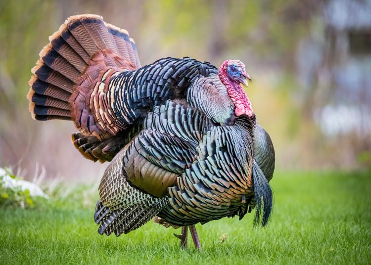 Wild Turkey © Justin Miel