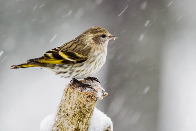 Pine Siskin. Photo © Terri Nicker