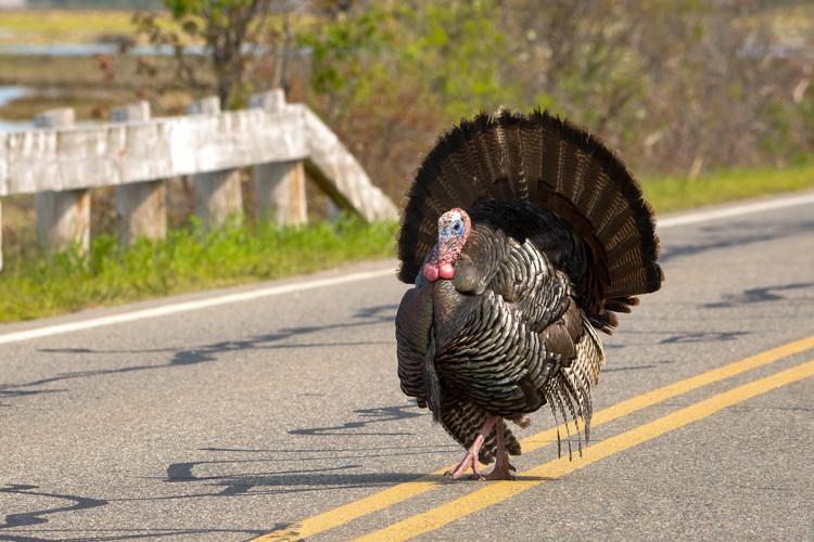 Wild Turkey © Brad Dinerman