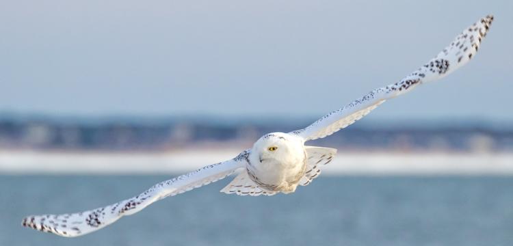 Snowy Owl © A. Grigorenko