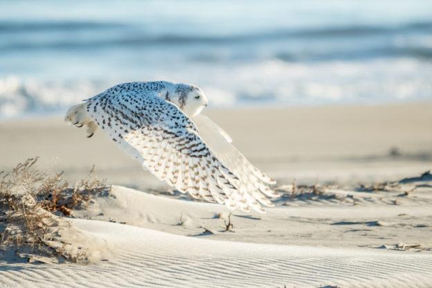 Snowy Owl © Paul Malenfant