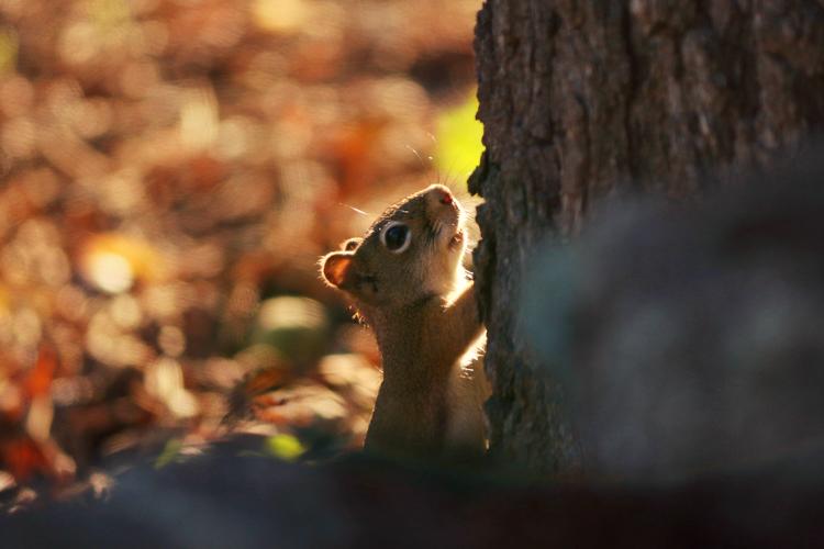 American Red Squirrel © Sophia Li