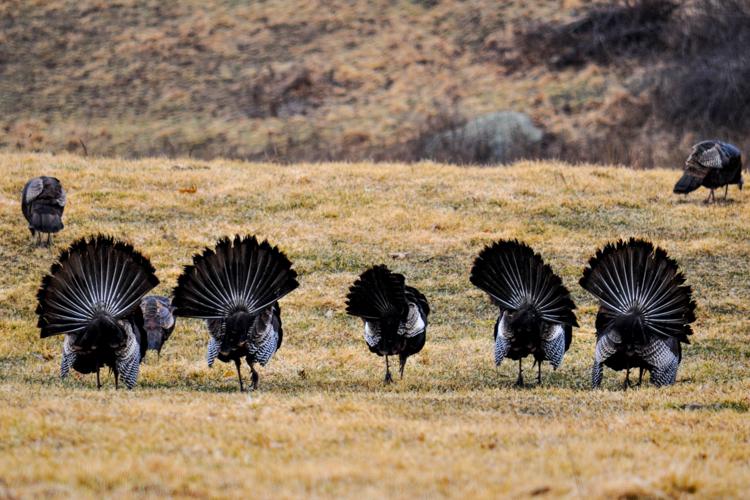 Wild Turkeys © Bruce Carnevale