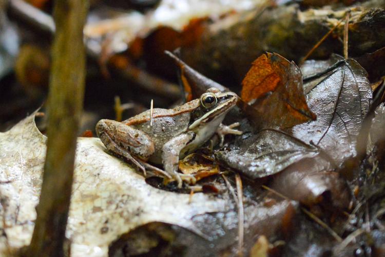 Wood Frog © Lucas Beaudette