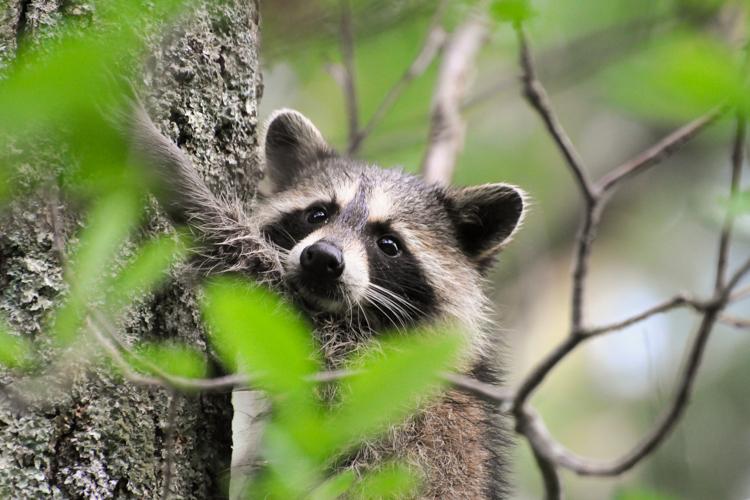 Raccoon © Richard Ruggiero