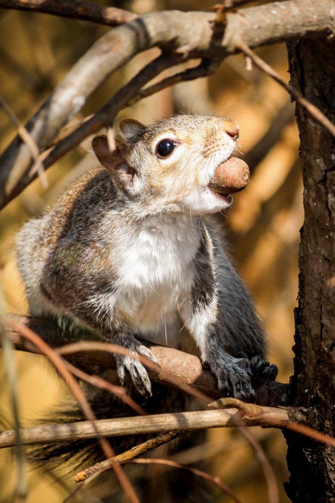 Eastern Gray Squirrel © Alex Renda