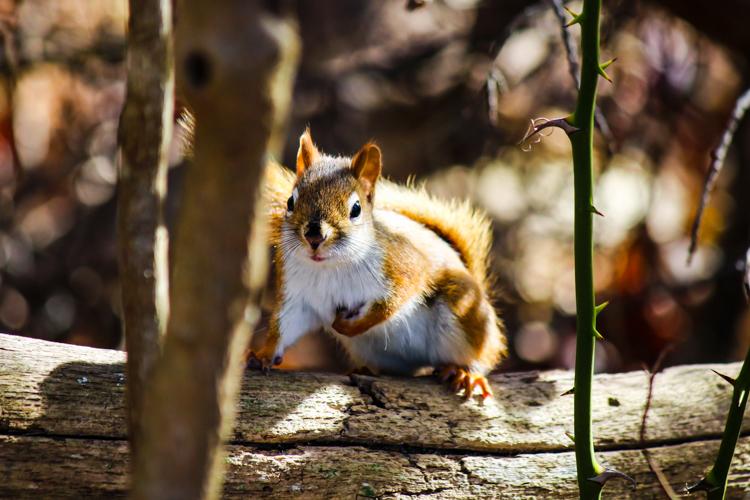 American Red Squirrel © Jason Barcus