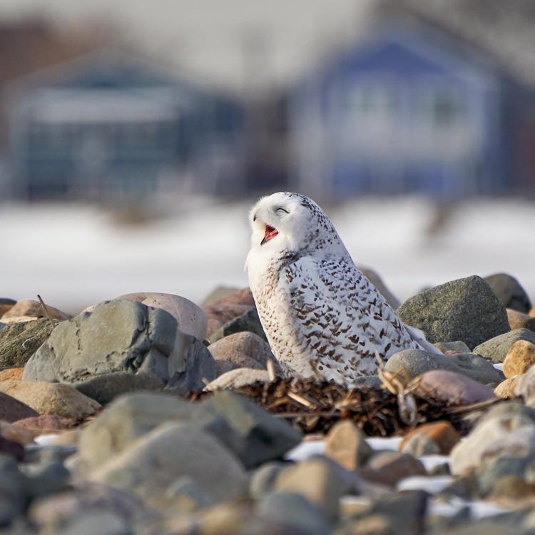 Snowy Owl © Jenny Zhao