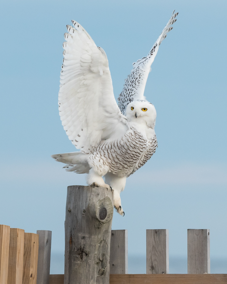 Snowy Owl © Sara Silverberg