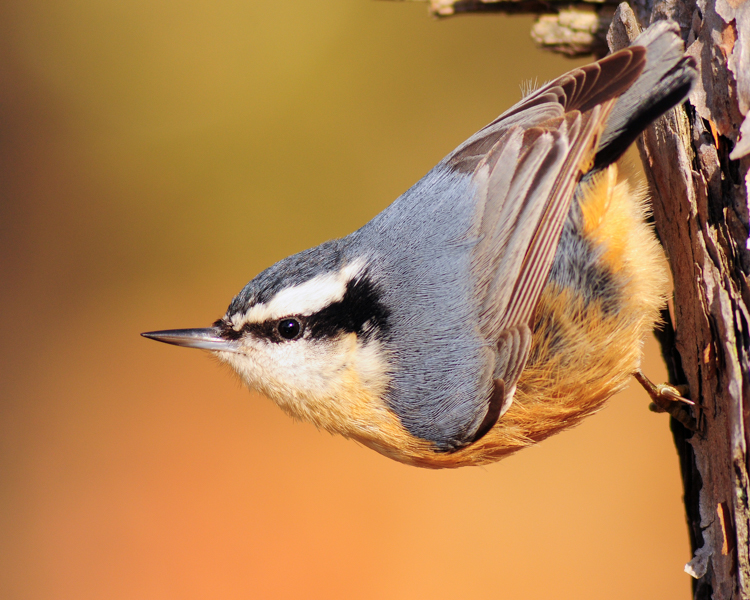 Red-breasted Nuthatch © Richard Alvarnaz