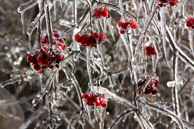 Winterberries after an ice storm © Cindy Riley
