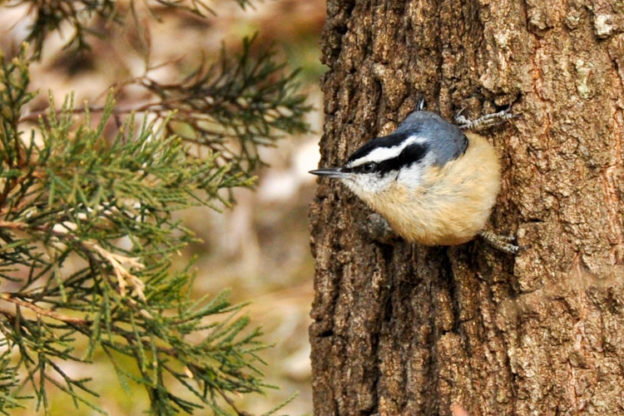 Red-breasted Nuthatch © Patricia Cully