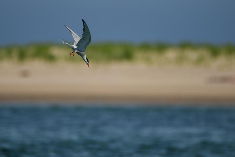 Common Tern, Winner: Birds, under 18 © Kieran Barlow