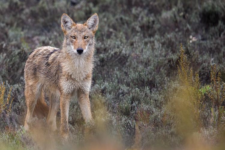 Coyote, Winner: Mammals, 18 and over © Jason Gilbody