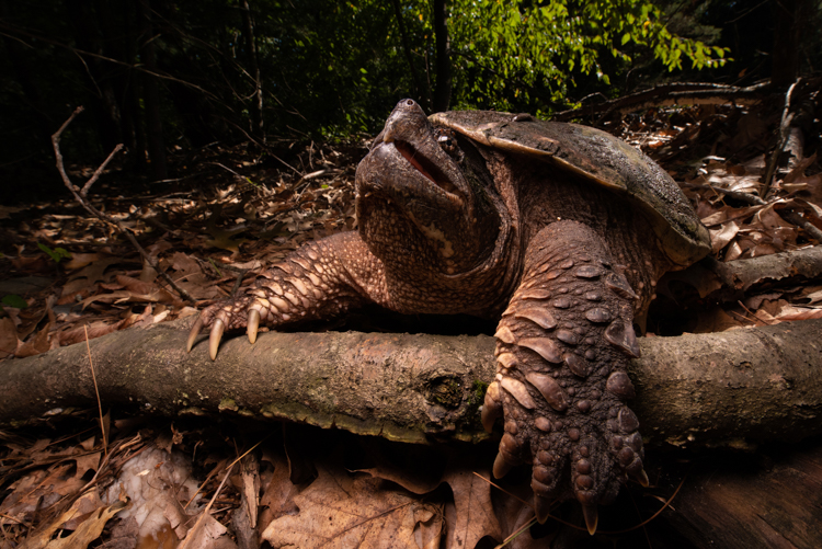 Snapping Turtle, Grand Prize Winner © Patrick Randall