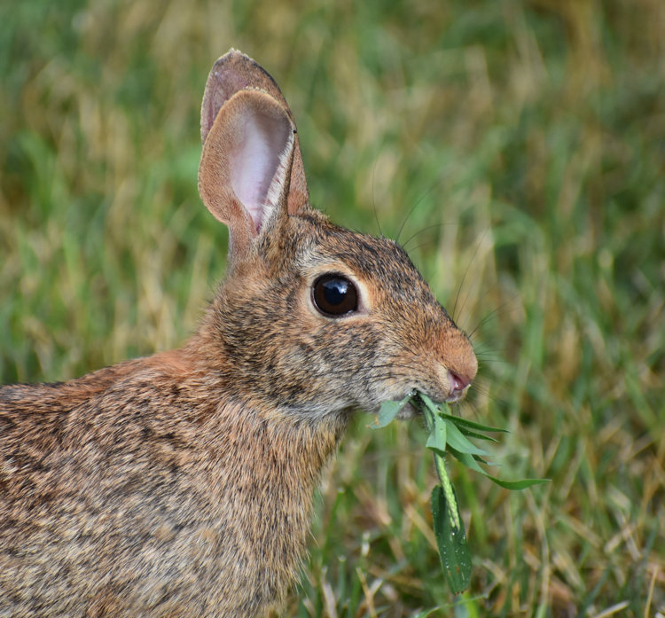 Eastern Cottontail, Winner: Mammals, 18 and over © Christy Bomer-Norton