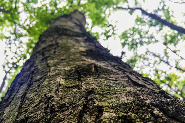 Tree Bark, possibly cherry or oak © Samantha Buckley