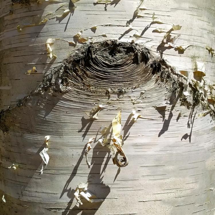 Paper Birch © Bob Dempkowski