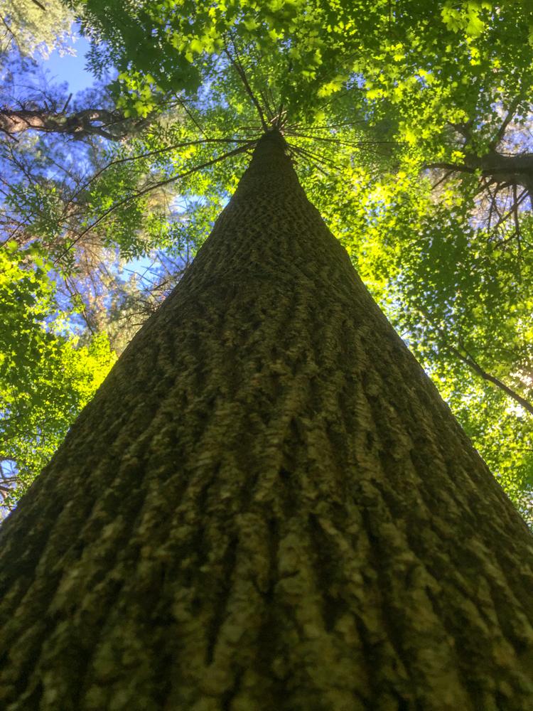 Norway Maple (non-native/invasive species but highly ubiquitous) © Matt Cembrola