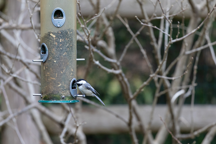 Black-capped Chickadee at a Feeder