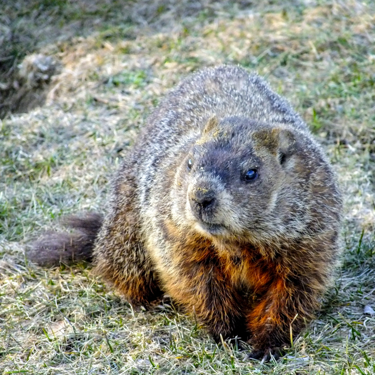 Groundhog © Martha Akey