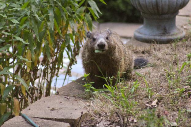 Groundhog © Debbie Lamb