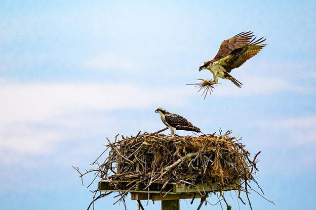 Osprey Nest Nicole Mordecai