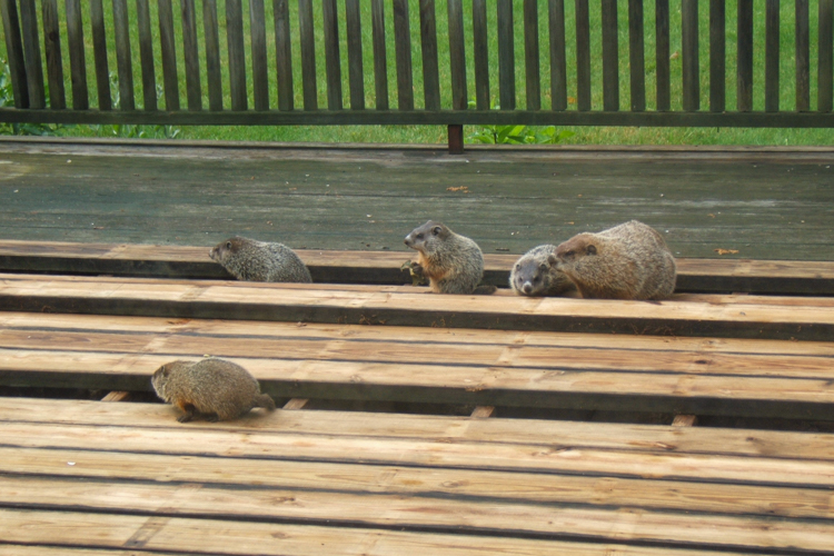 "Groundhogs inspecting a ""fellow woodworker's"" craftsmanship © Lois DiBlasi"