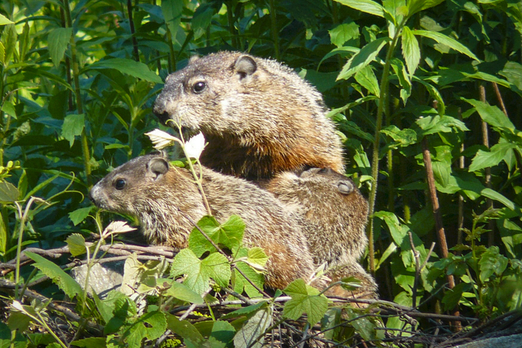 Groundhogs © John Coran