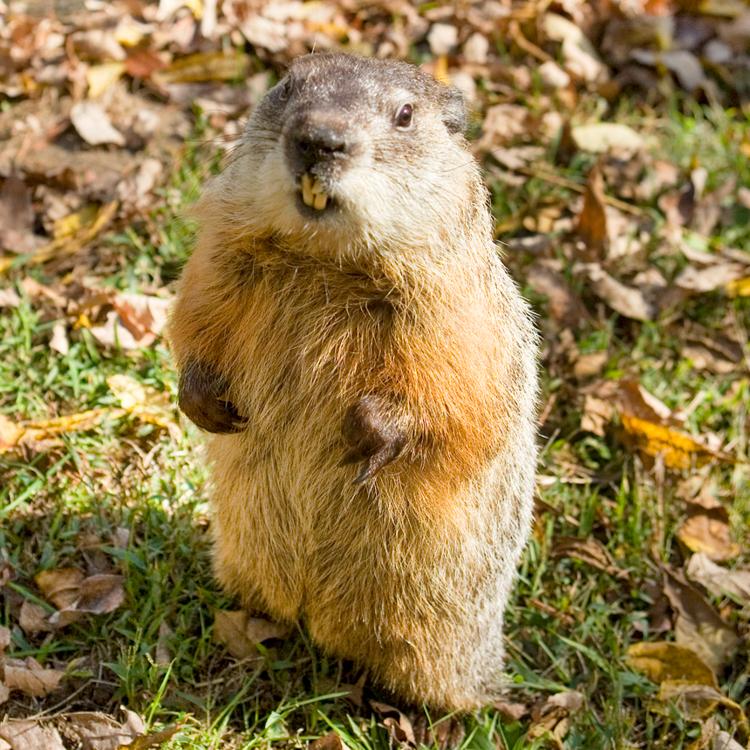 Groundhog © Eric Roth