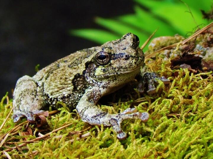 Grey Tree Frog © Sandra Hayslett