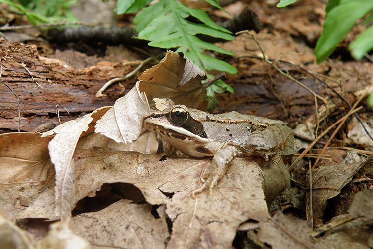 Wood Frog © Jane Parker