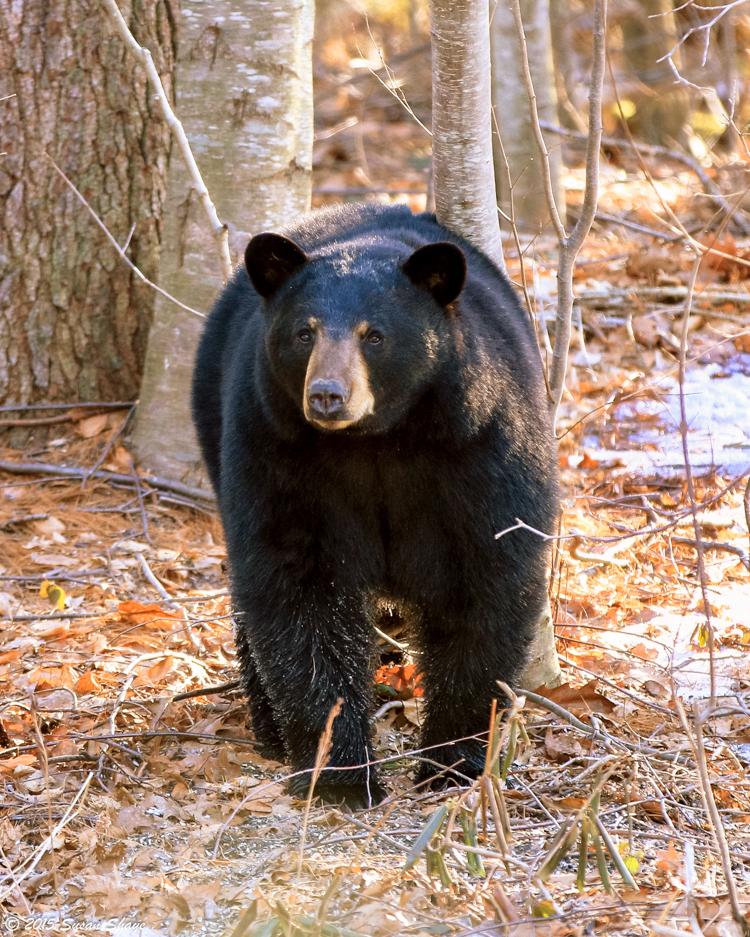 Black Bear © Susan Shaye