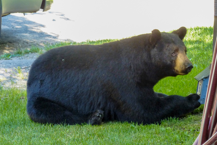 Black Bear © Diane Koske