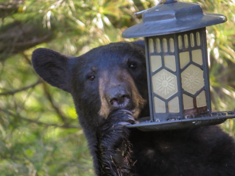 Black Bear © Alvin Laasanen