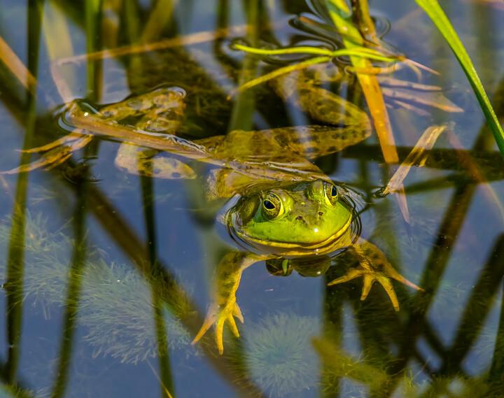 Green Frog © Bernard Creswick