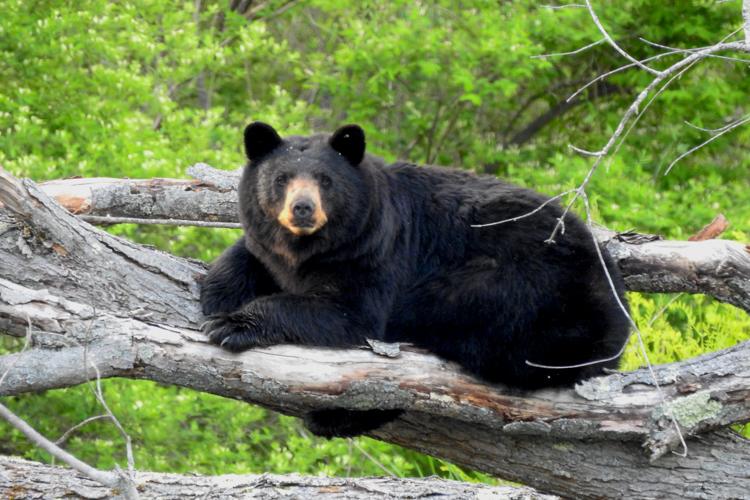 Black Bear © Matthew Watson