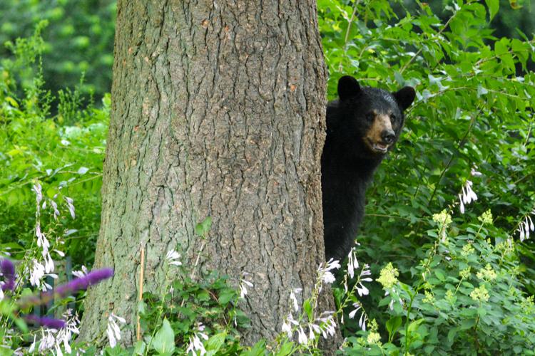Black Bear © Jeanne Gleason