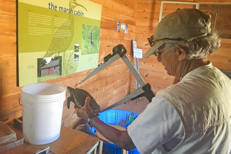 Barbara Brennessel measuring a Diamondback Terrapin