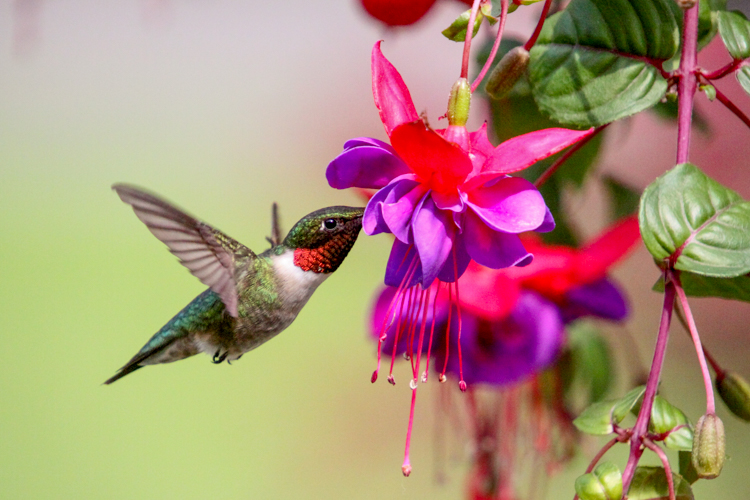Ruby-throated Hummingbird © Paul McCarthy