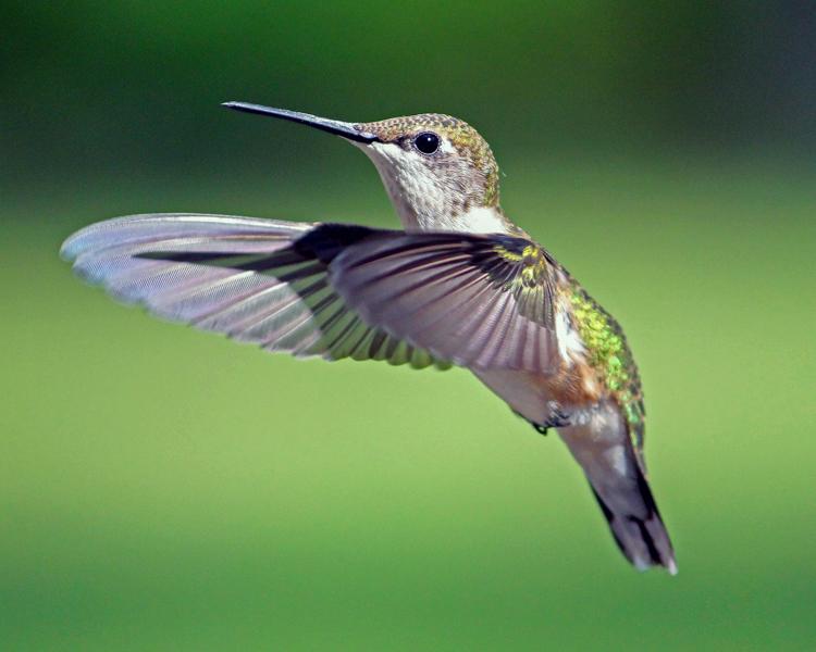 Ruby-throated Hummingbird © Linda Lapre