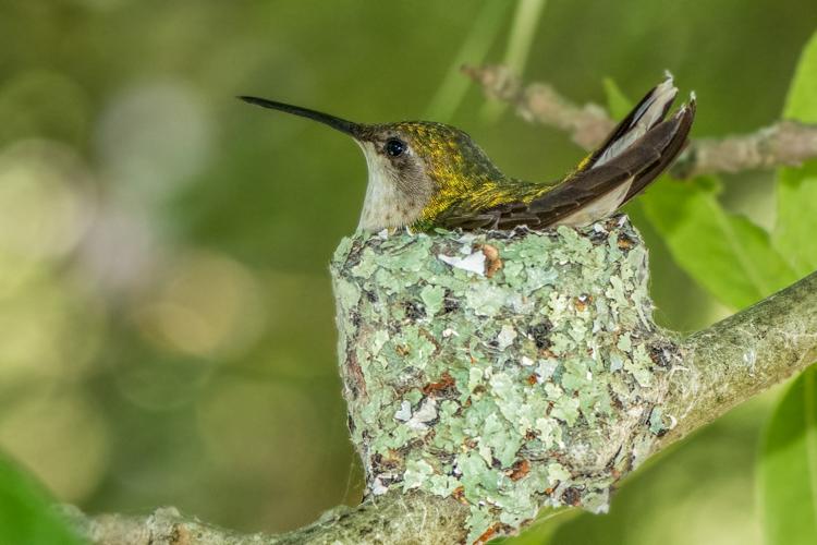 Ruby-throated Hummingbird © Nancy Marshall